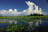 Flood water during the rainy season, Water Hyacinth, Pantanal, Mato Grosso, Brasil, South America