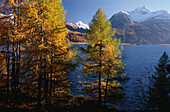 Larches in Autumnal Colour at Lake Sils, End of October, Engadin, Grisons, Switzerland
