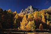 Herbstlicher Lärchenwald unter den Gipfeln von Grevasalvas, Malojapass, Bergell, Engadin, Graubünden, Schweiz
