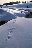 Rabbit tracks in the snow leading across stream, Sumava, Filipova Hut, Bohemian Forest, Czech Republic