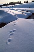 Hasenspuren im Schnee, Bach, Filipova Hut, Sumava, Böhmerwald, Tschechien
