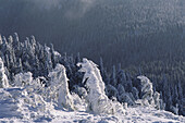 Snow covered crippled spruce trees, Bavarian Forest, Lower Bavaria, Germany