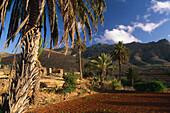 Oasis, Valley with palm trees and fields, Vega de Rio Palmas, Fuerteventura. Canary Islands, Spain