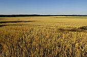 Cropped grain field near Tepla, Czech Republic