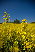 A blossoming canola field, rape field, Droessling, Bavaria, Germany