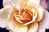 Aroma, Aromas, Botany, Close up, Close-up, Closeup, Color, Colour, Concept, Concepts, Daytime, Delicate, Detail, Details, Dew, Drop, Droplet, Droplets, Drops, Exterior, Flower, Flowers, Fragrance, Horizontal, Horticulture, Nature, Odor, Odors, Odour, Odo