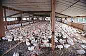 10200 six weeks old broilers ready for market.