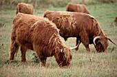 Highland cattle, Denmark