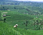 Rice field terraces. Jatuluih, Bali, Indonesia
