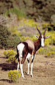Bontebok (Damaliscus dorcas dorcas), endangered species endemic to the Cape area. De Hoop Nature Reserve, W. Cape. South Africa