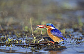 Malachite Kingfisher (Alcedo cristata) with fish. KwaZulu-Natal, South Africa