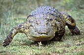 Nile Crocodile (Crocodylus niloticus) running. St. Lucia Wetland Park, KwaZulu-Natal, South Africa