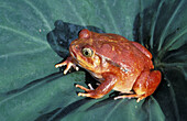 Tomato Frog (Dyscophus antongilii), endangered species, poisonous. Madagascar