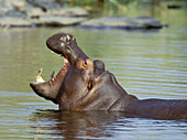 Hippopotamus (Hippopotamus amphibius) yawning, threat or dominance display. Kruger National Park, South Africa