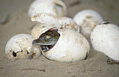 Nile Crocodile (Crocodylus niloticus) hatching from egg. St. Lucia Wetland Park, KwaZulu-Natal, South Africa