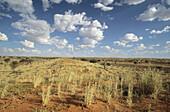 Kalahari Scene, Kgalagadi Transfrontier Park, Dune ridge and grasses. Kalahari, Northern Cape, South Africa