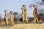 Meerkat or suricate (Suricata suricatta) watching fror predators. Kgalagadi Transfrontier Park, Kalahari. South Africa.