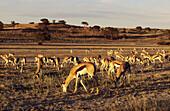Springbok, herd grazing. Kgalagadi Transfrontier Park, Kalahari. Northern Cape, South Africa