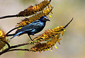 Glossy Starling (Lamprotornis nitens) feeding on aloe. Kruger National Park, South Africa.