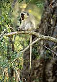 Vervet Monkey (Cercopithecus aethiops) yawning. Kruger National Park, South Africa