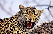 Leopard (Panthera pardus) snarling. Sabi Sabi. Greater Kruger National Park, South Africa