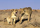Lioness (Panthera leo). Kgalagadi Transfrontier Park. Kalahari, South Africa