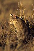 African Wildcat, Kgalagadi Transfrontier Park, Kalahari, South Africa