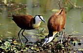African Jacana, Actophilornis africanus, Courtship display, KwaZulu-Natal, South Africa