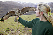 Setting free animals. Releasing a Common buzzard (Buteo buteo)