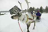 Reindeer transporting lapps. Lappland. Ivalo. Finland.