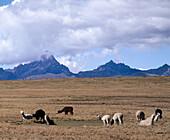 Llamas, guanacos and alpacas. Junín. The Puna. The Andes mountains. Perú.