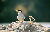River Tern (Sterna aurantia) with young one
