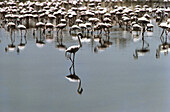 Flock of around 2,000 or more flamingos at Porbandar: they live on algae which grow in effluents from the soda ash factory. They visit many coastal towns of Saurashtra (Gujarat, India) during winter and young ones remain even in summer