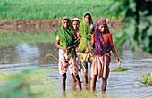 Planting rice field. Dungarpur. Rajasthan. India