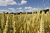 Landscape near the village. Coutures. Maine et Loire. France.