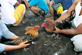 Cock-fight held during the Odalan (Temple festival). Bali. Indonesia