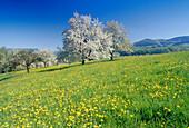 Blooming cherry trees, Eggen Valley, Markgraflerland, Black Forest, Baden-Wurttemberg, Germany