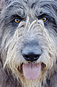 Animal, Animals, Close up, Close-up, Closeup, Color, Colour, Contemporary, Dog, Dogs, Face, Faces, Headshot, Headshots, Looking at camera, Mammal, Mammals, Obedience, Obedient, One, One animal, Pet, Pets, Portrait, Portraits, Vertical, A75-216827, agefoto