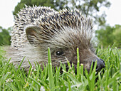 Animal, Animals, Close up, Close-up, Closeup, Color, Colour, Country, Countryside, Daytime, Exterior, Grass, Hedgehog, Hedgehogs, Horizontal, Lawn, Mammal, Mammals, Nature, One, One animal, Outdoor, Outdoors, Outside, Wild, Wildlife, Zoology, A75-323436,