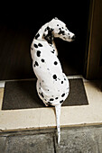101, Alert, Animal, Animals, Art, Artful, Artistic, Back view, Best, Black, Breed, Close up, Close-up, Closeup, Color, Colour, Cute, Dalmatian, Dalmatians, Daytime, Dog, Dog breed, Dog breeds, Dogs, Door, Door step, Doors, Dot, Exterior, Friend, One, One