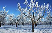 Aussen, Baum, Bäume, Blau, Botanik, Draussen, Eis, Eiskalt, Farbe, Feld, Felder, gefrieren, Gefroren, Horizontal, Jahreszeit, Jahreszeiten, Kalt, Kälte, Land, Ländlich, Mandelbaum, Mandelbäume, Natur, Natürlich, Obstbaum, Obstbäume, Pflanze, Pflanzen, Pf
