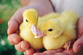 Adult, Adults, Animal, Animals, Avian flu, Avian influenza, Bird, Bird flu, Birds, Care, Close up, Close-up, Closeup, Color, Colour, Contemporary, Daytime, Delicate, Duck, Duckling, Ducklings, Ducks, Easter, Exterior, Farm, Farm animals, Farming, Farms,
