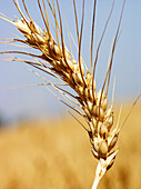 Agriculture, Aliment, Aliments, Biological, Botany, Carbohydrates, Cereal, Cereals, Close up, Close-up, Closeup, Color, Colour, Country, Countryside, Crop, Crops, Daytime, Detail, Details, Ear, Ears, Economy, Exterior, Farming, Fibre, Food, Foodstuff, Go
