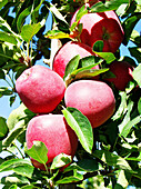 Red Chief apples