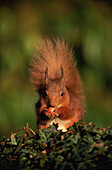 Red Squirrel (Sciurus vulgaris) eating hazelnut. Scotland