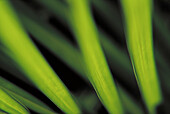 Background, Backgrounds, Botany, Close up, Close-up, Closeup, Color, Colour, Detail, Details, Green, Horizontal, Leaf, Leaves, Natural background, Natural backgrounds, Nature, Palm, Palm tree, Palm trees, Palms, Plant, Plants, Texture, Textures, E33-1402