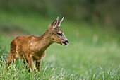 Roe deer (Capreolus capreolus) fawn