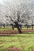 Almond trees blossoming. Majorca, Balearic Islands. Spain