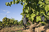 Vineyards. Manto negro grape variety (native from the Balearic islands), Majorca. Balearic Island. Spain