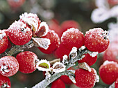 Frost-covered berries on shrub, close-up. Mill Creek. Washington. USA